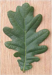 180px-Zomereik_blad_Quercus_robur.jpg
